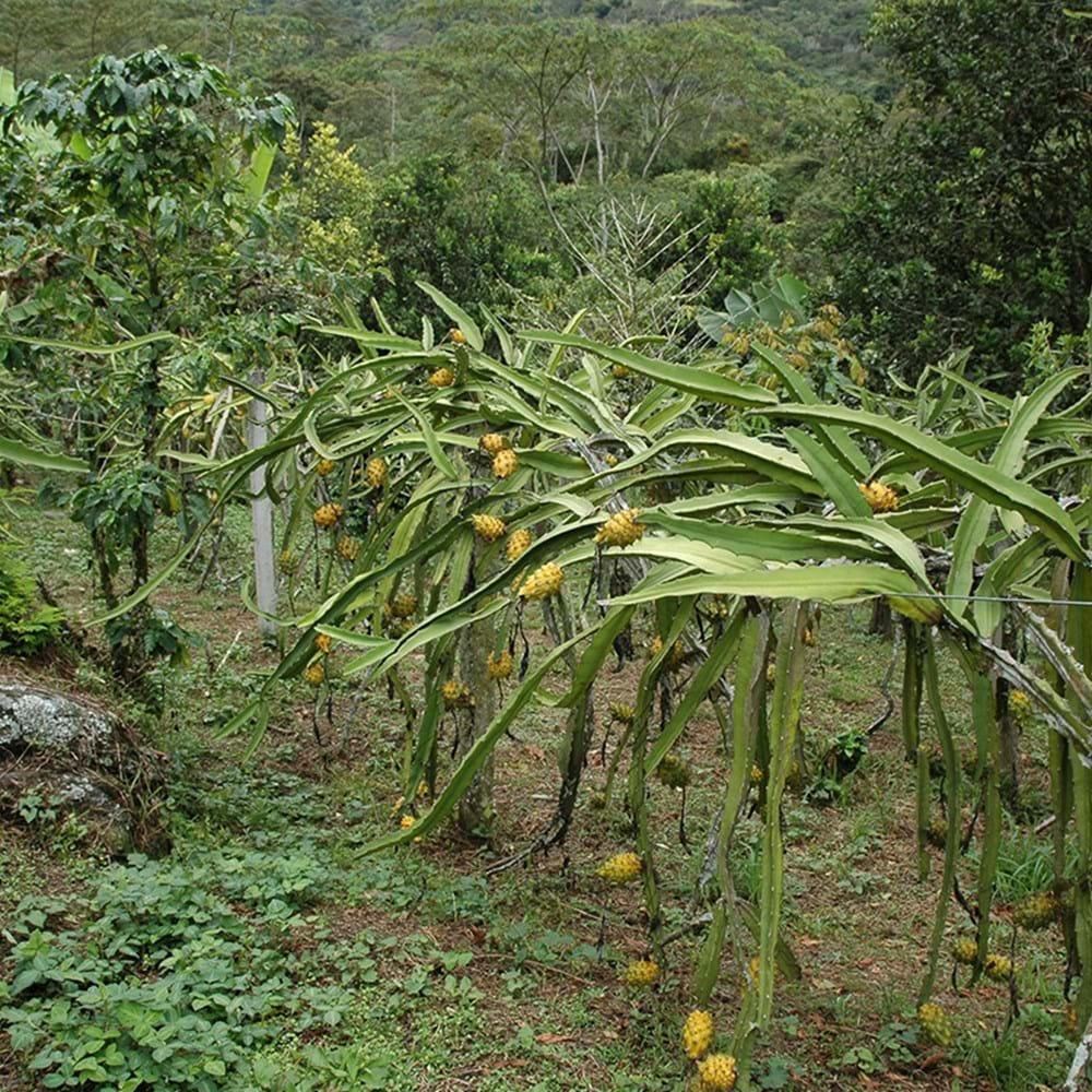 Golden dragon fruit tree golden dragon marketing ltd liverpool